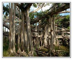 Bahamas - ambitious tree - , Central Eleuthera - Bahamas