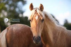 Gorgeous Palomino Horse. Available as Wall Art (Canvas, Poster, Mounted Print, Acrylic, Aluminium and Gloss Print: http://thebellsistersart.com/shop/gorgeous-palomino-horse/