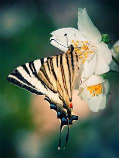 Tiger Butterfly @Joseph Cohen Eidson