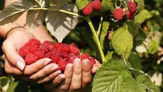 Toto je důvod, proč mám každý rok bohatou úrodu rajčat, ukázkový trávník a žádné škůdce v zahradě: Nasypte do zahrady tuto přísadu, účinek se projeví hned! – Domaci Tipy Raspberry Benefits, Raspberry Bush, Lactating Mother, Anti Oxidant Foods, Strawberry Plants, Beautiful Fruits, Hair Health, Drinking Tea, Healthy Skin