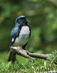 Black-throated Blue Warbler - Setophaga caerulescens, is a small passerine bird of the New World warbler family. Its breeding ranges are located in the interior of deciduous and mixed forests in eastern North America. Photo by Wayne Wood.