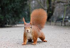 Finnish squirrel strain found in a variety of color types: black-tailed dark six squirrel, red tail light pine squirrel, and brown-tailed squirrel numerous intermediate. Squirrel (Sciurus vulgaris), change the hair twice a year. Ear tufts of hair emerging during the autumn, but drops off in the spring. Male and female similar to each other, both appearance and size. Info Wikipedia