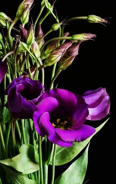 Delicate trumpets of white, purple, pink, cream, lilac or bi-colored flowers in single and double-petaled varieties. They're also known as prairie gentians or Texas bluebells. And I've heard and seen them called Lizzy at flower markets.  TO know more about Eustoma visit, http://www.theflowerexpert.com/