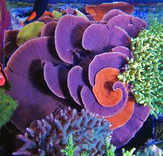 magnificent montipora capricornis - www.reefcentral.com/forums/showthread.php?t=1637540