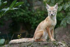 Corsac fox; Saarbrucken Zoo; 7th September 2010