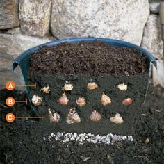 "How to ""Sandwich"" Bulbs for Six Weeks of Blooms ! Follow this container recipe for continuous year round color !"