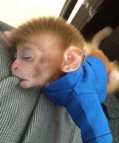 Baby Monkeys for Adoption – Why Adopt Monkeys? Baby Animals Super Cute, Cute Little Animals, Monkey Pictures, Animal Pictures, Baby Monkey Pet, Monkey Monkey, Orang Utan, Monkey Wallpaper, Fotografia Tutorial