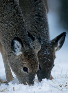 Foraging in the Snow - A stunning image taken by nature photographer John Cancalosi Your personalisationd details are printed directly onto the inside of his deisgn Gloss Finish. Corporate Christmas Cards, Charity Christmas Cards, Personalised Xmas Cards, Greeting Cards, Snow, Flat, Printed, Nature, Animals