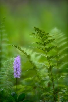 Quietness in the forest Beautiful Flowers, Beautiful Pictures, Walk In The Woods, Enchanted Garden, Nature Photos, Fern, Wild Flowers, Greenery, Nature Photography