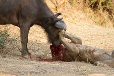 lion vs buffalo luangwa