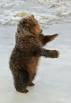 Standing Grizzly Cub!