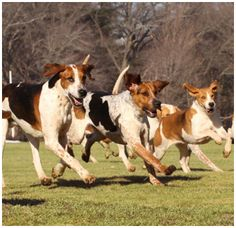 The Myopia Hunt Foxhound pack was established in 1882. The first pack consisted of 10 couple of English Foxhounds, imported from Lord Whilloughby de Broke's Warwickshire Hunt in England. The first kennel was located at the Myopia Clubhouse in Winchester, but soon moved to the current location in Hamilton. Today, the Myopia pack consists of 18 couple of Foxhounds, of which 7 couple are English, 10 couple Crossbred, and 1 couple Penn-Marydel.