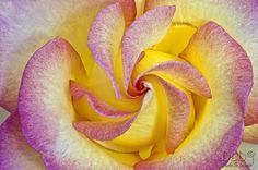 Rosa Jules Verne by dlddanilo