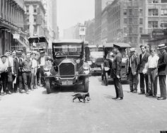 A policeman in 1925 stopping traffic for a mother cat carrying a kitten in her mouth