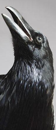 crow, death, warning, black, inky, intelligent, large beak, beady eyes