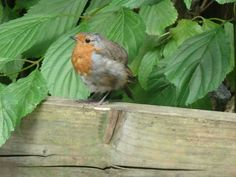 Sweet Robin at Marwell Zoo Marwell Zoo, Robin, Bird, Sweet, Animals, Candy, Animales, Animaux, Birds