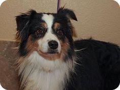 Colorado Springs, CO - Australian Shepherd. Meet Gunner, a dog for adoption. http://www.adoptapet.com/pet/17073422-colorado-springs-colorado-australian-shepherd