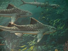 Hybodus | Hybodus painting | Flickr - Photo Sharing! The Hybodus shark lived during the late Permian-early Cretaceous 260-140 m.y.a..It had the unusual distinction of having two types of teeth:sharp for ripping and tearing,and flat for grinding .The dorsal fin looks more like that of the modern shark but retains a spike. Habitat:Worldwide Length:6ft Weight:100-200lbs