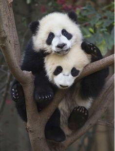 Panda cuddles!