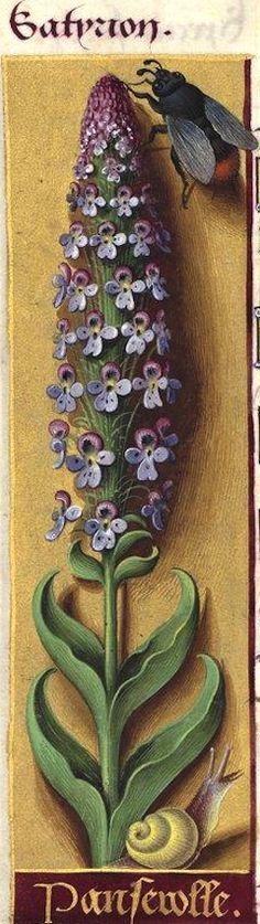 Panserolle - Satyrion (Jussieu donne «Orchis militaris major C. B, male picta». Le dessin est médiocre, mais c'est bien un Orchis) -- Grandes Heures d'Anne de Bretagne, BNF, Ms Latin 9474, 1503-1508, f°114v