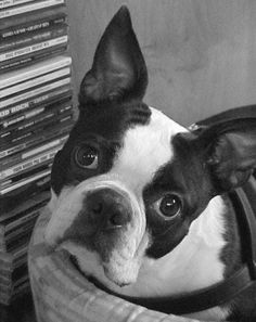 Boston Terrier Rescue of North Carolina. For when I can FINALLY be a doggie foster mom!