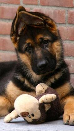 Wicked Training Your German Shepherd Dog Ideas. Mind Blowing Training Your German Shepherd Dog Ideas. Gsd Puppies, Cute Puppies, Cute Dogs, Animals And Pets, Baby Animals, Cute Animals, Big Dogs, I Love Dogs, Beautiful Dogs