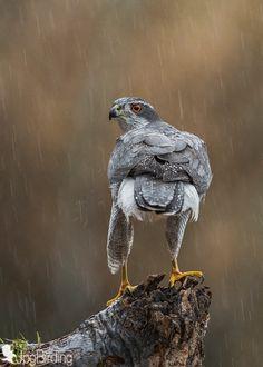under the rain by jose pesquero Raptor Bird Of Prey, Birds Of Prey, Birds In The Sky, Birds In Flight, Northern Goshawk, Australian Parrots, Under The Rain, Paws And Claws, Rare Birds