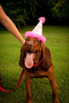 Bloodhound dog. First birthday. Party hat. dolly