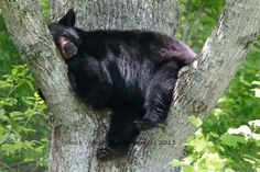 This bear is taking a breather