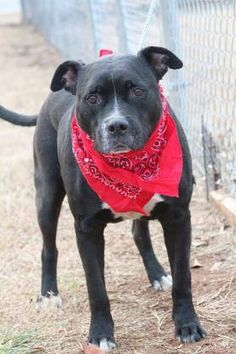 ADOPTED>NAME: Domino  ANIMAL ID: 34120827  BREED: Retriever/boxer mix  SEX: male(altered)  EST. AGE: 3 yr  Est Weight: 71 lbs  Health: Heartworm neg  Temperament: dog friendly, people friendly  ADDITIONAL INFO: RESCUE PULL FEE: $35  Intake date: 12/2  Available: 12/10
