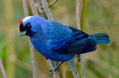 Foto sanhaçu-frade (Stephanophorus diadematus) por Renerio Almeida | Wiki Aves - A Enciclopédia das Aves do Brasil