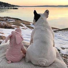 French Bulldog and piggy pal