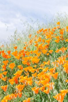 The Poppy Fields at Mt Diablo State Park in the San Francisco Bay Area are a spectacular sight! These Spring flower fields in Northern California bloom in March - April. California Wildflowers, Spring Wildflowers, Orange California, Northern California, Flowers San Francisco, Beautiful Places In California, Bay Area, Poppy Fields, State Parks