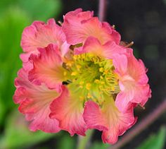 GEUM 'Tutti Frutti' GEUM 'Tutti Frutti' Our introduction in 2015! Wavy, watery-red edges to the petals, fading to cream in the centre. Yellow stamens. Yummy! 30cm £5.00