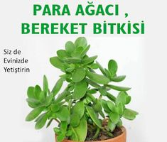 Evinizden sıkıldınız, içeride basılıyor gibi hissediyorsunuz, enerjisinde… You're tired of your home, you feel like you're being stepped inside, and you're not satisfied with your energy. You need an innovation. What is the question… Plant Breeding, My Flower, Flowers, Crassula Ovata, Solar Energy Panels, Do It Yourself Projects, Step Inside, Art Deco Design, Feng Shui