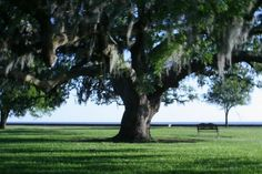 Oak trees.  I would love to be sitting under that tree reading a book and drinking a glass of iced tea.