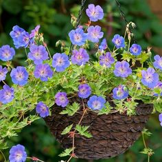 5 reasons why you should plant Geranium Rozanne in containers Yarrow Plant, Geranium Plant, Hardy Geranium, Long Blooming Perennials, Blooming Plants, Summer Plants, Summer Flowers, Container Plants, Container Gardening
