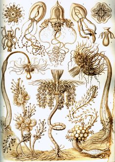 6-Haeckel_Tubulariae.jpg (2314×3271)