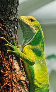 Fiji banded iguana at the Zurich Zoo in Switzerland • photo: Tambako The Jaguar on Flickr