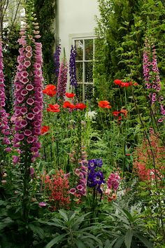 Cottage garden, foxglove, delphinium, poppies, penstemon