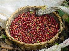 """Auf der """"Route des Kaffee"""" durch Nicaragua  (rf) Den Norden Nicaraguas kann man auf der """"Route des Kaffee"""" entdecken. Die Tour präsentiert die kulturelle, gastronomische, landschaftliche und touristische Vielfalt der Region und verläuft ..."""