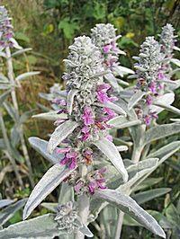 Stachys-byzantina Čistec velkokvětý dorůstá výšky až 40 cm. Listy jsou velké, obvejčité, na okrajích výrazně pilovité, obepínající stonek. Fialové květy jsou uspořádány ve vrcholovém přeslenu. Jsou poměrně velké, na což upozorňuje i druhové jméno rostliny, macranthus – velkokvětý. Druh tvoří kompaktní trsy, které na jednom stanovišti vydrží mnoho let. Stanoviště pro pěstování volíme slunečné, nebo i mírně zastíněné, půda spíše chudší, ne jílovitá. Po odkvětu je vhodné rostlinu sestřihnout