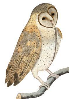 'Owl' (anonymous artist)