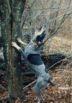 Bluetick Coonhound, hunted with them when I was in my 20s and loved these very sweet dogs. The Bluetick has a fearless and warrior-like approach to the hunt.