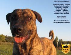 Video - cimarron uruguayo - Cerberus Illusion kennel FB: Cerberus Illusion kennel   Breeder: Gabriella Hurtos  www.cerberusillusion.com hurtos.gabriella@gmail.com   #cimarronuruguayo #cerberusillusion #cimarron #cerberus #uruguayskycimarron #uruguajskycimarron #uruguayicimarron #dogsofinstagram #dog #dogs #doglovers #dogstagram #dogs_of_instagram #dogs_of_world #anakin #grandchampion #champion #thebest #thebestdog #pet #dog #hunde #guarddog #molosser #moloss #puppy Schnauzers, Cerberus, Working Dogs, Dog Training, Dog Lovers, Labrador Retriever, Sky, Puppies, Pets