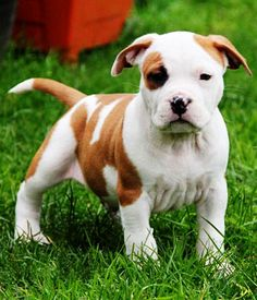 American Staffordshire Terrier Puppy ..I want one now!