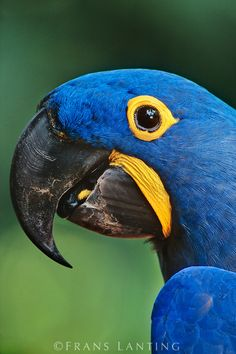 Hyacinth macaw, Anodorhynchus hyacinthinus, Pantanal, Brazil by Frans Lanting. raisingparrots.info