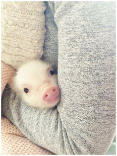 Up Close and Pearlsonal with Pearl the Pig