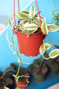 The True Vanilla Orchid Vine... Where Vanilla beans come from!