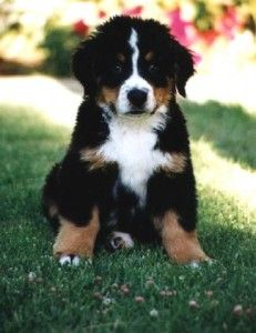 bernese mountain dog.  want!